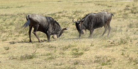 Wildebeest are among the animals that can be spotted on the wild African savannah. Photo / Thinkstock