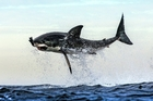 The great white shark suddenly breaches and is pictured in flight as it snatches the decoy seal trailed behind the research boat near Seal Island off the Cape Town coast. Photo / Chris McLennan