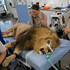 Ngala, a 175kg African lion, goes under anaesthetic for a root canal operation at Auckland Zoo to repair a crack in one of his teeth. An armed guard stood ready in case the patient woke up early. Photo / Brett Phibbs