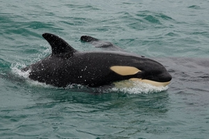 HELLO: This female orca, known as Flean, was among a pod that visited the Bay of Islands.