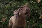 Patchi the Pachyrhinosaurus, the star of Walking with Dinosaurs 3D.
