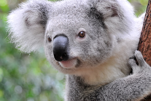 Koalas are a 'charismatic' species which brings in tourist dollars. Photo / Getty Images