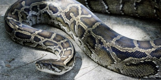 A python suffocated and killed a security guard in Indonesia. Photo / File