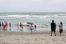The rotting body of a sperm whale was mistaken for a capsized yacht off Papamoa Beach yesterday afternoon.  Photo / George Novak