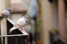 People needlessly give pigeons a hard time, says Beedoo. Photo / Thinkstock