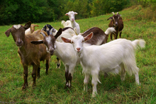 The goats on Mt Richmond originated from the abattoir on the other side of Great South Rd and were a problem for many years. Photo / Thinkstock 