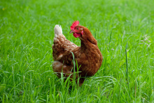 Is the image of 'free-range' chickens frolicking in green pastures just a fantasy? Photo / Thinkstock