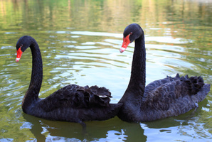 It is unknown how many swans were killed. Photo / Thinkstock