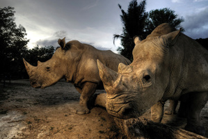 There are only 7 northern white rhinos left in the world. Photo / Thinkstock