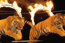 A tiger performing at the circus has attacked and killed its trainer in Mexico.Photo / Thinkstock 