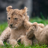 Two of Woodland Park Zoo's four new lion cubs explore their enclosure during a brief trip outside in Seattle. Photo / AP