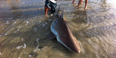The big bronze whaler was eventually pulled on to Matarangi Beach after a 45-minute tussle. Photo / Supplied