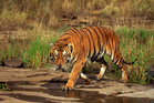 There are plenty of opportunities to see Bengal tigers in India. Photo / Getty Images