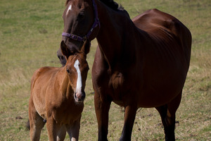The horse and foal owned by Amber-Leigh Erasmus were poisoned with prescription drugs. Photo / Sarah Ivey