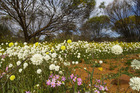 For a few months each year carpets of wildflowers appear in West Australia's Coalseam Conservation Park. Photo / Supplied