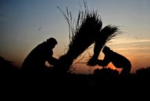 India is among countries considering planting the genetically modified rice. Photo / AP