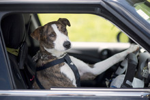 Ginny the whippet cross learns how to drive. Photo / Supplied