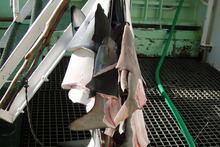 Shark-finning is still allowed in New Zealand waters, but is banned in 98 other countries. Photo / Supplied