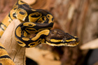 Snakes are becoming popular pets in Hong Kong.Photo / Thinkstock
