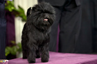Banana Joe, an Affenpinscher and winner of the toy group. Photo / AP
