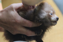 Hamilton Zoo says it will probably run a competition to name the cubs. Photo / Supplied