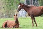 The horse-meat contamination scandal in Britain has since spread to France and Sweden. Photo / Dianne Manson