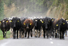 Cattle being shifted down the road on a cold morning in Featherston. Allied Farmers is a rural services business. Photo / Raewyn McMaster