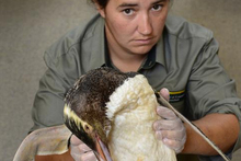 DoC biodiversity ranger Mel Young holds a yellow-eyed penguin, which died from unknown causes. Photo / Peter McIntosh