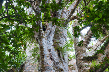 About 390 trees were put forward by the Waitakere Local Board for the test by arborists' ratings and property owners' objections. Photo / Thinkstock