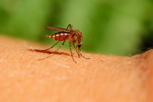 New research has shown that mosquitoes can grow immune to repellent in as quickly as three hours. Photo / Thinkstock