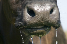 A West Coast farmer has been banned from owning cows for five years. Photo / File photo