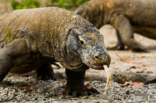 Komodo giants are found on the Indonesian islands of Komodo and Rinca. Photo / Getty Images