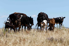 Heifers and their calves forage for feed in a parched Hamilton paddock. Photo / Christine Cornege