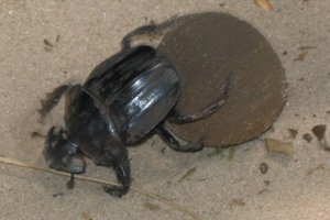 Dung beetles hasten the burial of livestock dung but the risk they pose to human and animal health has not been researched. Photo / Supplied
