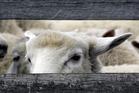 Sheep no longer outnumber Kiwis quite as drastically.  Photo / Glenn Taylor