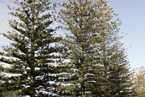 Norfolk pines in Napier. Photo / File / Duncan Brown