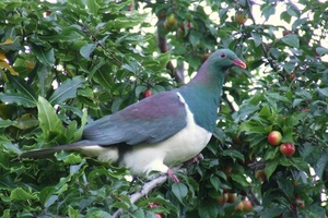 Locals in South Westland are being asked to keep an eye out for the intoxicated kereru. Photo / Wairarapa Times-Age