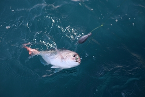 A tool for grasping the lips will hold a fish like this kingfish while the hook is removed. Photo / Geoff Thomas