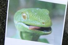 The striking Wellington green gecko. Photo / Gerald Ford