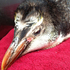 A young royal penguin washed up on the Wairarapa coast and is fighting for its life in Wellington Zoo. Photo / Supplied