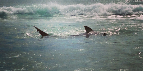 A shark was spotted in the shallows at the beach in Mount Maunganui.  Photo / Supplied