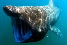 A basking shark. Photo / NOAA