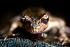 Auckland Zoo's seven baby frogs are now just a half centimetre long. Picture / Sarah Ivey