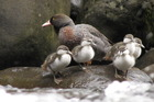 New Zealand's threatened species of rare native duck, the whio. Photo / Supplied