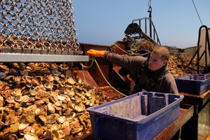 A whole lot of hard work goes on to get Bluff oysters on to Auckland plates.Photo / Babiche Martens