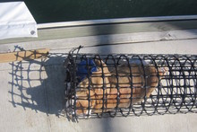 The ginger and white cat was found floating in the trap beneath the Auckland Harbour Bridge. Photo / Supplied 
