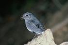 The North Island Robin  Photo / File