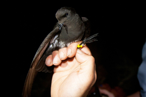 The New Zealand storm petrel. Photo / Martin Berg