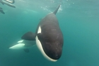 Aucklander Mike Coughlan captured a pod of orca on his GoPro camera from his 5.6m boat while at Matai Bay,  Northland over Christmas.