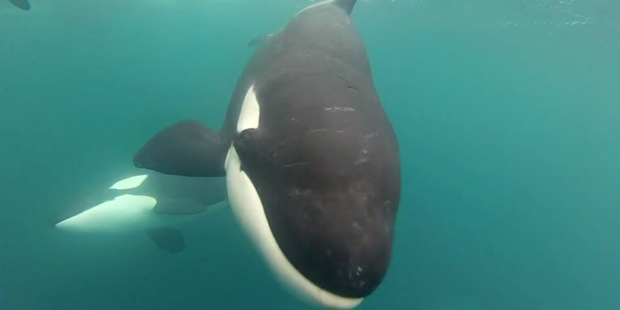 Loading Aucklander Mike Coughlan captured a pod of orca on his GoPro camera from his 5.6m boat while at Matai Bay,  Northland over Christmas.